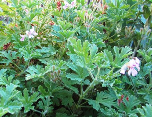 Rose geranium attracts honeybees and makes a beautiful tesane
