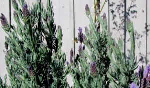 Honeybees love hovering around all types of lavender; here, it's the Spanish variety