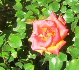 The range of colors for roses is vast; pictured here is a red-gold variety of floribunda