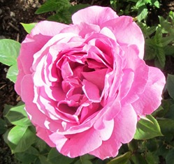 This candy-stripe rose was a gift from a friend--a cutting from her rose that became a large bush in my care