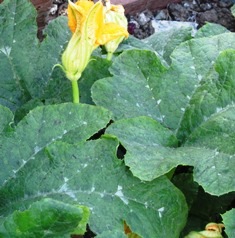The pumpkin vine, now over 25 feet long, still have numerous blooms and tennis ball size green pumpkins
