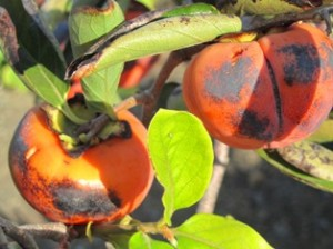 Coffee Cake, a variety of Fuyu persimmon, has orange flesh and the fruit remains firm like an apple