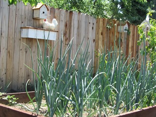 Summer onions have formed large heads and been harvested so need replacing