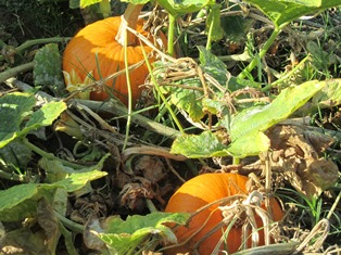 Pumpkins show orange and yellow, signalling the arrival of the cool season