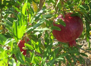 Red pomegranates hang like jewels in contrast to the leaves that will soon yellow and drop