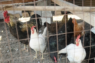 Some chickens have caged runs, but are also allowed free-range foraging