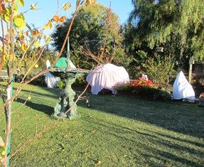 Sheets and blankets cover citrus trees around our farmette as temps plunge