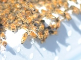 honeybees doing the waggle dance around the top of a super