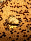 Queen bee quarters on a frame inside the hive