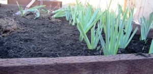 The newly planted iris will reward us with dazzling blooms around Easter