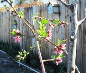 The peaches think it's spring and have sprung blooms