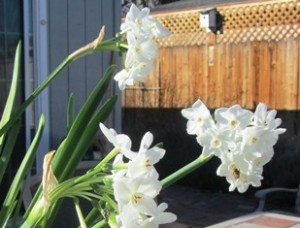Look closely for the honeybee at the bottom right on the paperwhite narcissus blossom