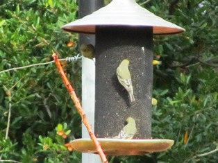 Finches love Nyjer seed and hang around when the feeder is full
