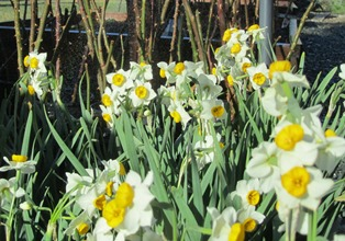 Brightly colored narcissus are grown from bulbs that return year after year