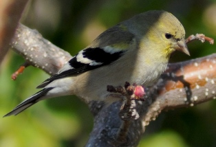 The pine warbler perches contentedly in the apricot tree after dining on