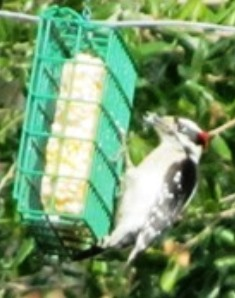 Our resident woodpecker snacks on suet