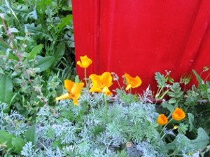 California poppies are beginning to bloom around the farmette