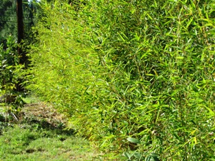 Bamboo plants make great screens and clipped hedges