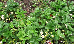A white bloom in spring heralds the formation of succulent strawberries