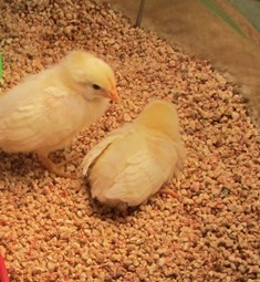 "One White Leghorn chick to another: ""Let's make a run for it!"""