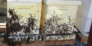 Honeybees outside the hive box on a hot day