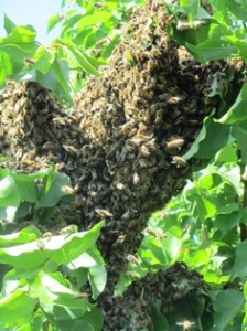 Honeybees cluster in a temporary location (apricot tree) during a swarm