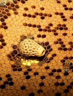Queen cell that houses the queen who is feed royal jelly until she emerges