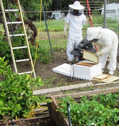Two beekeepers rescue a swarm from high in a pepper tree