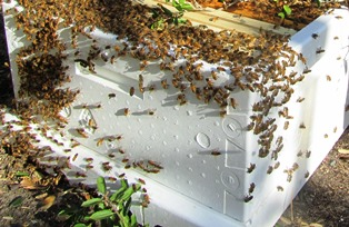 Massive swarm captured in a hive box with ten frames