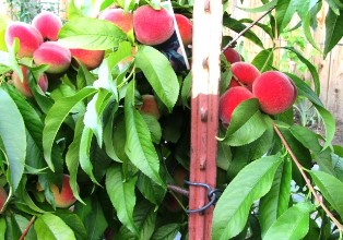 Heavy bearing peaches need staking and fruit thinning