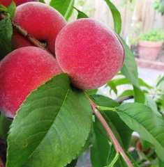 Desert Gold peaches are ready to eat in May but buds are swelling and showing color now