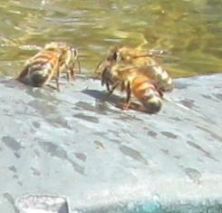 Worker honeybees drinking water on a hot day