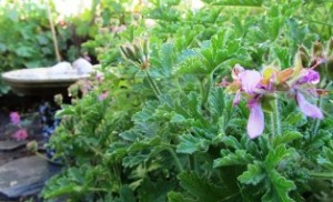 The rose geranium blooms are lovely but the plant is valued for its aromatic leaves