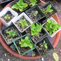 These bell pepper seedlings were pre-germinated and transferred to cells