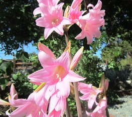 Vibrant pink lilies on 3 feet tall stalks have a sweet, seductive scent