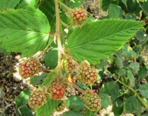 Blackberries turn from green to red and then black, when they are ripe