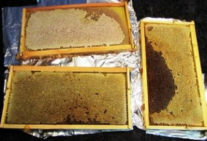 Frames of honey, fresh from the hives