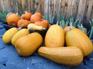 My small harvest is in--anyone for pumpkin pie?