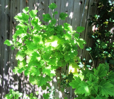 lemon-scented pelargonium is thriving in part shade