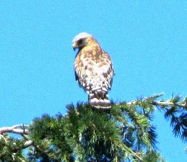 A sharp-shinned hawk on top of a nearby pine tree keeps an eye on my chickens