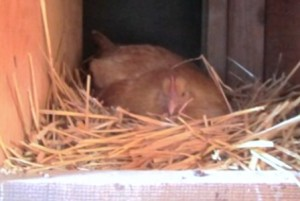 A broody chicken, like my Buff Orpington shown here, may peck you if you try to disturb her