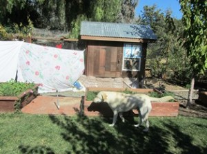 My chicken run draped in sheets so the dog couldn't see the hens