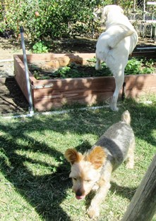Remington, the white, short-haired lab is climbing into my strawberries, while  Moose has his sights set on something else