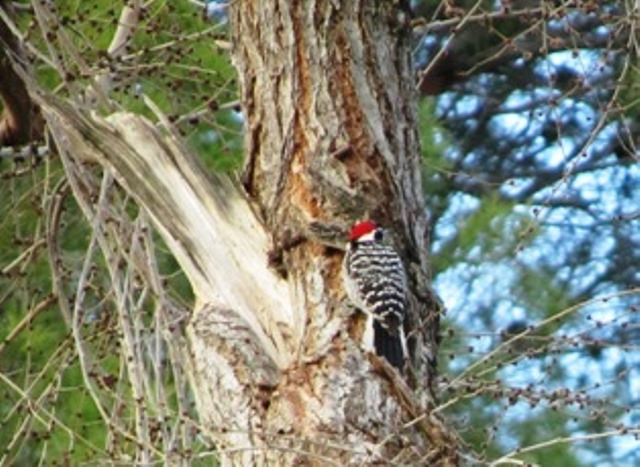 The Nuttall's Woodpecker adds a dash of brilliant red and black and white stripes to the wood and bark of trees