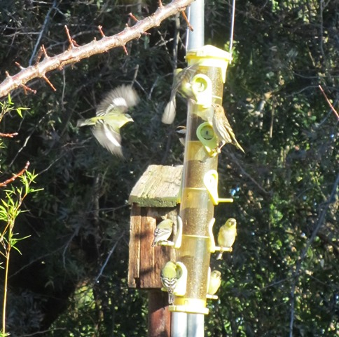 The finches add brilliant flashes of yellow color to the garden--so drab this time of year