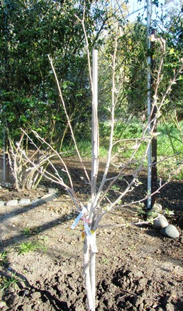 This two-year-old apple has been grafted with five varieties of apples