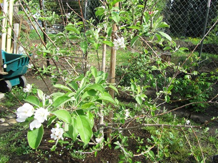 When the early blooming varieties of apples break bud, it's time to think cool season planting