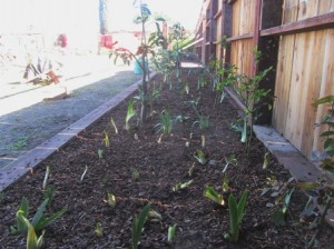 We've interplanted citrus and bearded irises in this raised bed spanning the length of the front fence