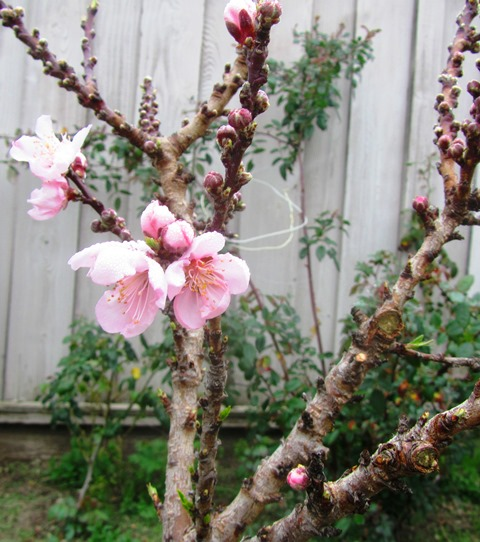 The dwarf nectarine has burst into bloom, meaning I won't get the additional spraying done