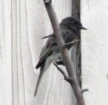 Crew Cut, our resident black phoebe